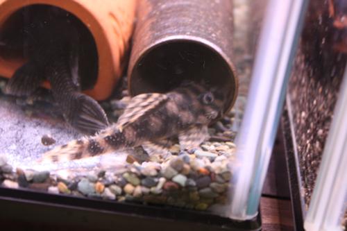 サンダーペコルティアペア 東海 岐阜 熱帯魚 水草 観葉植物販売 Grow aquarium
