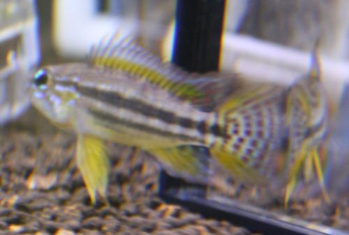 ピストグラマ ビタエニアータ パラクーバ東海 岐阜 熱帯魚 水草 観葉植物販売 Grow aquarium