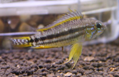 アピストグラマ ビタエニアータ パラクーバ 東海 岐阜 熱帯魚 水草 観葉植物販売 Grow aquarium