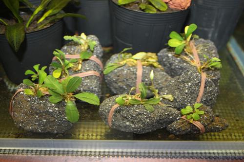 ブセファランドラsp.ラマンダウ グリーン 東海 岐阜 熱帯魚 水草 観葉植物販売 Grow aquarium