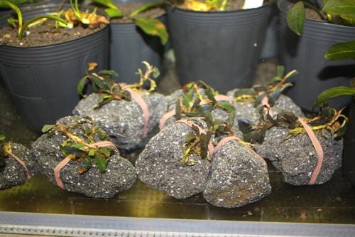 ブセファランドラsp.イー 東海 岐阜 熱帯魚 水草 観葉植物販売 Grow aquarium