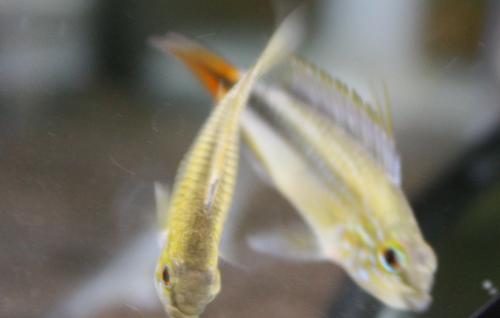アピストグラマ リオ・マモレ(エリスルラ)レッドテール 東海 岐阜 熱帯魚 水草 観葉植物販売 Grow aquarium