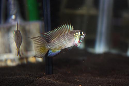 アピストグラマ ブライトビンデン 東海 岐阜 熱帯魚 水草 観葉植物販売 Grow aquarium