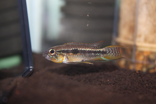 アピストグラマ パウキスクアミス 東海 岐阜 熱帯魚 水草 観葉植物販売 Grow aquarium