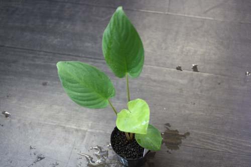 スキスマトグロッティスsp.サンガウ 東海 岐阜 熱帯魚 水草 観葉植物販売 Grow aquarium