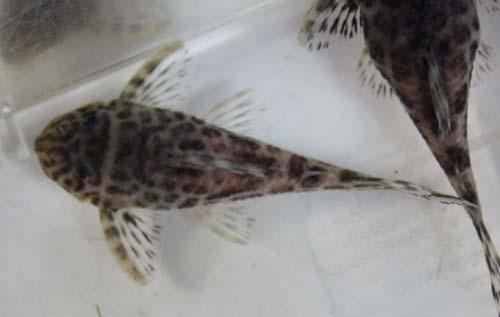 インペダップルたぶん♂ 東海 岐阜 熱帯魚 水草 観葉植物販売 Grow aquarium