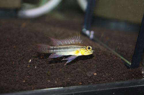 アピストグラマ ビタエニアータ テフェ東海 岐阜 熱帯魚 水草 観葉植物販売 Grow aquarium