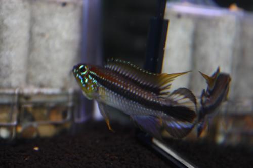 アピストグラマ アガシジィ リオ ジャタプー 東海 岐阜 熱帯魚 水草 観葉植物販売 Grow aquarium