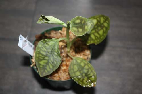 シストーチス バリエガータ 東海 岐阜 熱帯魚 水草 観葉植物販売 Grow aquarium