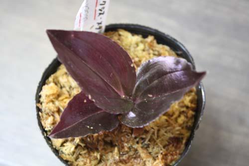 マラクシス メタリカ 東海 岐阜 熱帯魚 水草 観葉植物販売 Grow aquarium