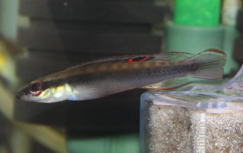 クレニキクラ レガニ オリノコ 東海 岐阜 熱帯魚 水草 観葉植物販売 Grow aquarium