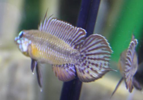アピストグラマ エリザベサエ リオネグロ バウアリ 東海 岐阜 熱帯魚 水草 観葉植物販売 Grow aquarium