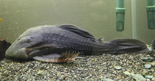 ブルーアイプレコ 東海 岐阜 熱帯魚 水草 観葉植物販売 Grow aquarium