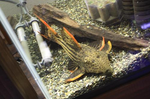 ウルトラスカーレットトリム24~25cm+- 東海 岐阜 熱帯魚 水草 観葉植物販売 Grow aquarium