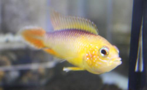 アピストグラマ アガシジィ ファイヤーレッド 東海 岐阜 熱帯魚 水草 観葉植物販売 Grow aquarium