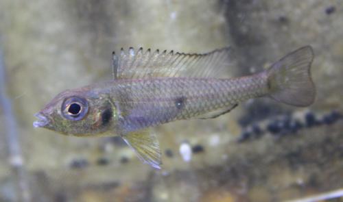 グリーンドワーフシクリッド カイクビ 東海 岐阜 熱帯魚 水草 観葉植物販売 Grow aquarium