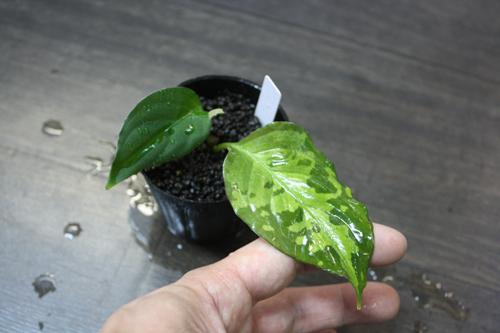 アグラオネマsp. グリーンイエロー 東海 岐阜 熱帯魚 水草 観葉植物販売 Grow aquarium