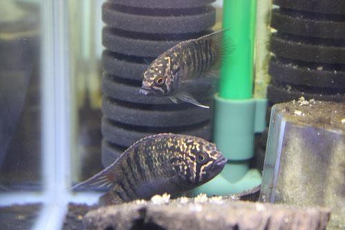 Ivanacara adoketa Tuccano 東海 岐阜 熱帯魚 水草 観葉植物販売 Grow aquarium