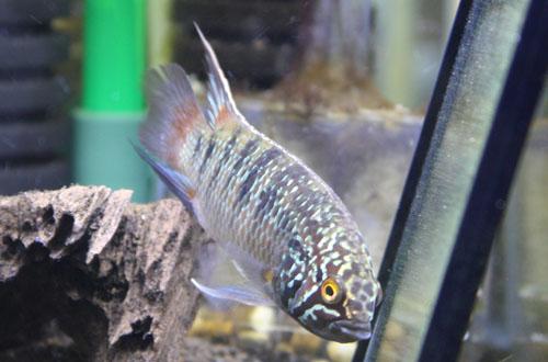 イバナカラ アドケタ トゥッカーノ 東海 岐阜 熱帯魚 水草 観葉植物販売 Grow aquarium
