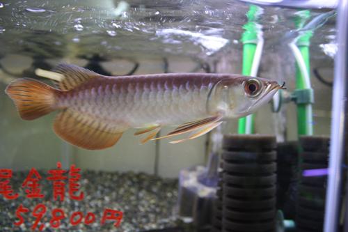 紅尾金龍 マレーシア ゴールデンレッド 東海 岐阜 熱帯魚 水草 観葉植物販売 Grow aquarium