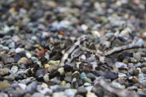 パンダシャークローチ 東海 岐阜 熱帯魚 水草 観葉植物販売 Grow aquarium