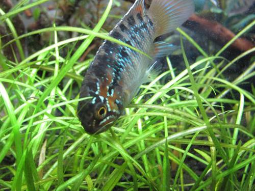イバナカラ アドケタ 東海 岐阜 熱帯魚 水草 観葉植物販売 Grow aquarium