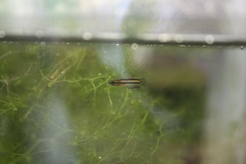 マクロストマ 東海 岐阜 熱帯魚 水草 観葉植物販売 Grow aquarium