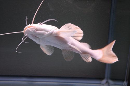 プラチナレッドテールキャット 東海 岐阜 熱帯魚 水草 観葉植物販売 Grow aquarium