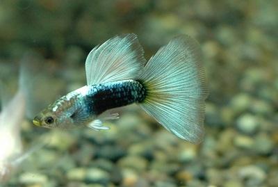 ドイツ幼魚