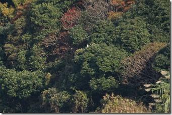 141127015 秋色の中で、休息中のミサゴ(shiblin)