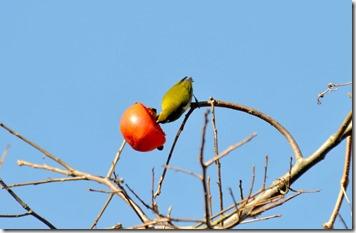 141127043 熟した柿の実を啄むメジロ (羽咋)