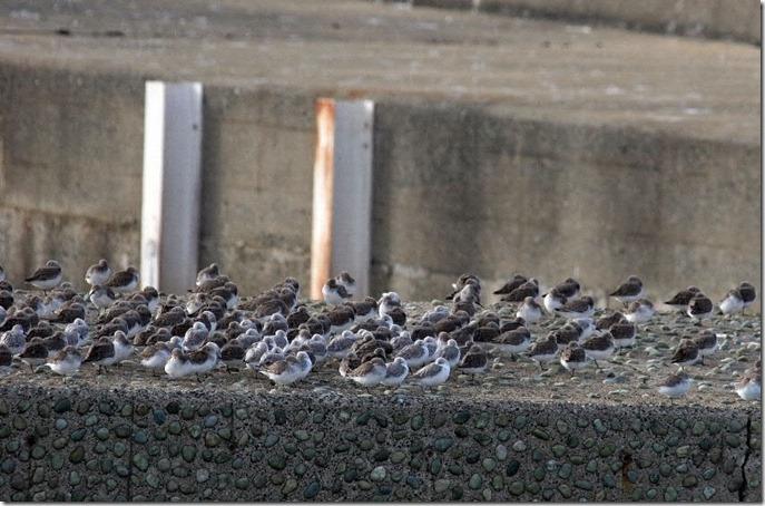 141127045 ハマシギとミユビシギの群れ (鵲)
