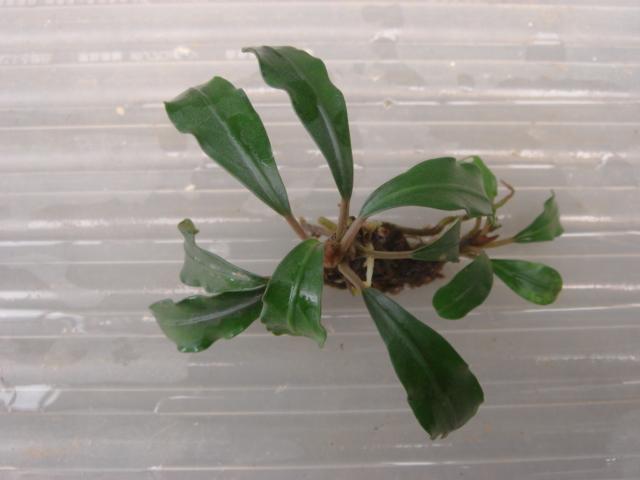 Bucephalandra sp.Sungai Ayak