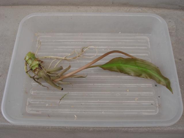 Lagenandra spTHENKASI1