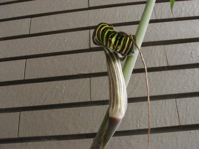 Arisaema ciliatum var.liubaense3