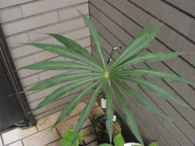 Arisaema ciliatum var.liubaense2