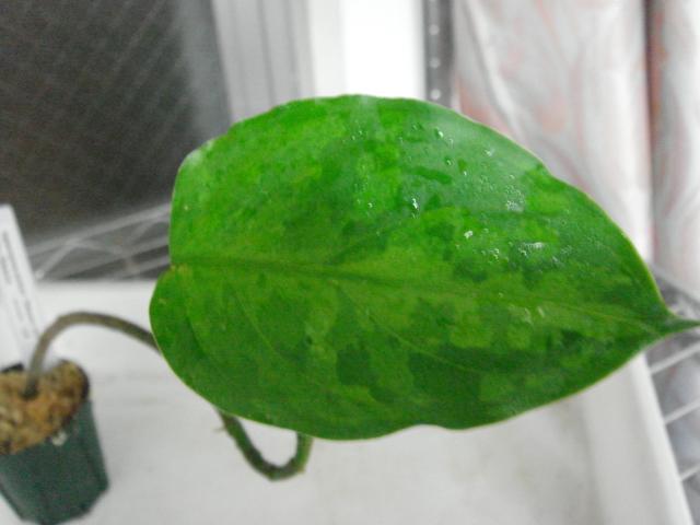 Aglaonema pictum Siberut 3rd