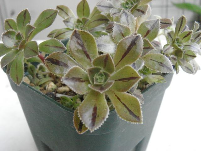 Aeonium hierrense