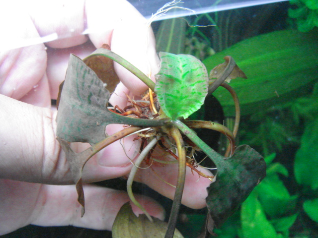 Cryptocoryne ferruginea1