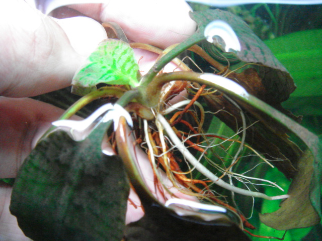 Cryptocoryne ferruginea2