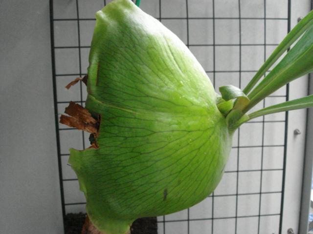 Platycerium alcicorne4