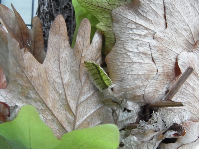 Drynaria quercifolia4