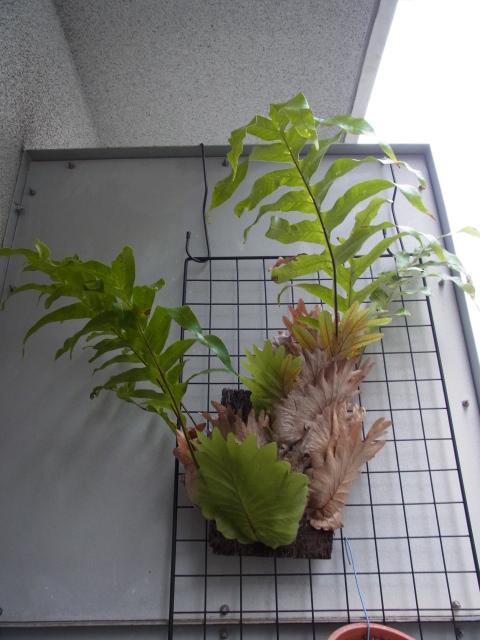 Drynaria quercifolia1