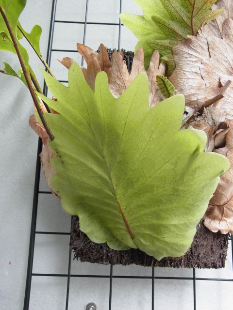 Drynaria quercifolia2