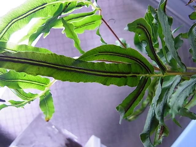 Blechnaceae sp3