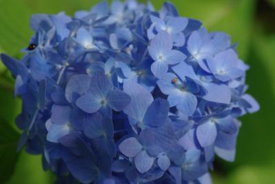 610紫陽花2