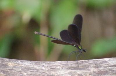 周期的に翅を広げるハグロトンボ