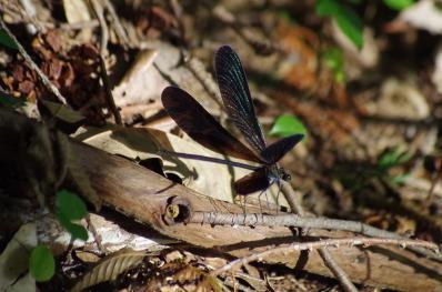 緑に輝くハグロトンボの翅