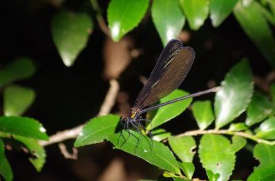 閉じた翅が金色に光るハグロトンボ