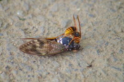 セミを食べるスズメバチ1